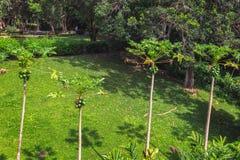 Opinión de cuatro árboles de papaya en jardín tropical en la isla de Oahu fotografía de archivo