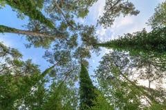 Opinión de debajo sobre las coronas de pinos perennes altos contra el cielo azul fotos de archivo