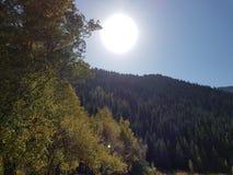 Opinión de debajo sobre las coronas de pinos perennes altos en el fondo del cielo azul y del sol Imagen de archivo libre de regalías