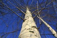 Opinión de debajo sobre las ramas de la bobina de la corona del árbol Fotografía de archivo