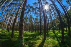 Opinión de Fisheye del bosque denso del árbol de pino Fotos de archivo libres de regalías