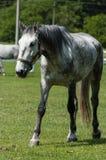Opinión de Fron el caballo blanco de los viejos kladrubs Fotos de archivo libres de regalías