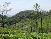 Opinión de jardín de té de ooty, la India Foto de archivo libre de regalías