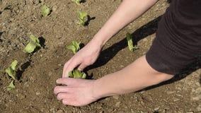Opinión de la cosecha de las manos de la mujer que la toman a lechuga fresca joven para la planta almacen de video