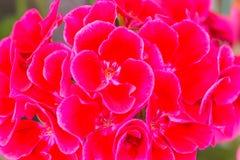 Opinión de la flor del geranio imagen de archivo libre de regalías