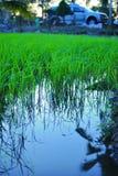 Opinión de la granja del arroz Foto de archivo libre de regalías