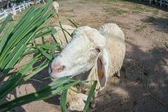 Opinión de la granja las ovejas que pastan a disposición Fotografía de archivo libre de regalías