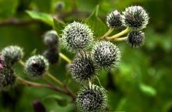 Opinión de la hierba de la bardana de las espinas desde arriba del fondo de la naturaleza Fotos de archivo