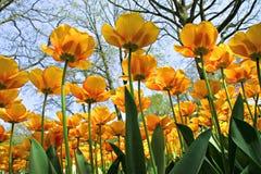 Opinión de la hormiga tulipanes amarillos fotografía de archivo