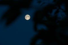 Opinión de la luna a través de ramificaciones Imagen de archivo libre de regalías