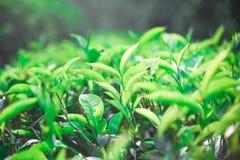 Opinión de la mañana del estado del té en Sri Lanka fotos de archivo libres de regalías