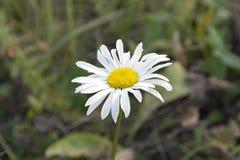 Opinión de la macro de la flor de la margarita Foto de archivo