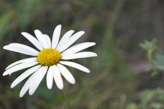 Opinión de la macro de la flor de la margarita Fotos de archivo