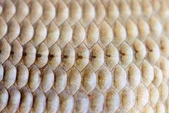 Opinión de la macro de la textura de la piel de las escalas de pescados Carassius geométrico de la carpa de Crucian de la foto de Foto de archivo libre de regalías