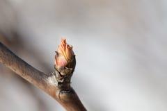 Opinión de la macro del brote de la primavera Árbol de florecimiento con la hoja joven roja Copie el espacio Foco suave, profundi Imagen de archivo libre de regalías