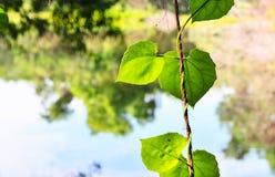 Opinión de la naturaleza del primer de la hoja verde en jardín en el verano bajo luz del sol Fotografía de archivo