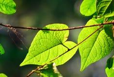 Opinión de la naturaleza del primer de la hoja verde en jardín en el verano bajo luz del sol Las plantas verdes naturales ajardin Foto de archivo