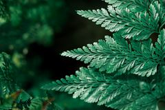 Opinión de la naturaleza del primer de la hoja verde oscuro en la luz del sol, oscuridad natural Fotos de archivo libres de regalías