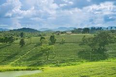 Opinión de la salida del sol del paisaje de la plantación de té en Chiangrai, Tailandia Fotos de archivo