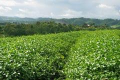 Opinión de la salida del sol del paisaje de la plantación de té en Chiangrai, Tailandia Foto de archivo libre de regalías