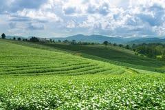 Opinión de la salida del sol del paisaje de la plantación de té en Chiangrai, Tailandia Imágenes de archivo libres de regalías