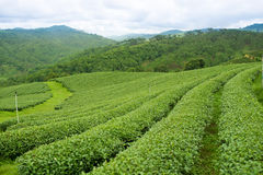 Opinión de la salida del sol del paisaje de la plantación de té en Chiangrai, Tailandia Imagen de archivo libre de regalías