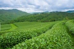 Opinión de la salida del sol del paisaje de la plantación de té en Chiangrai, Tailandia Fotografía de archivo