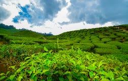 Opinión de la tarde en la plantación de té de Cameron Highlands antes de fuertes lluvias Imagen de archivo libre de regalías