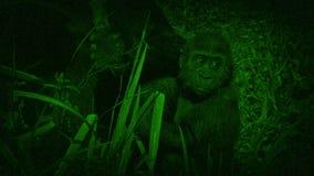 Opinión de la visión nocturna el gorila del bebé almacen de metraje de vídeo