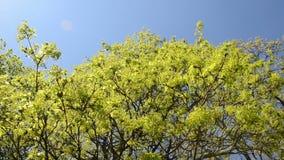 Opinión de la vuelta del movimiento verde de la rama de árbol de arce en viento sobre el cielo azul almacen de metraje de vídeo