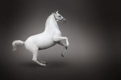 Opinión de lado trasero del caballo blanco aislada en negro Foto de archivo