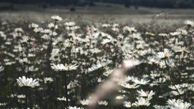 Opinión de las flores del prado de la naturaleza del verano Paisaje del campo de la manzanilla del verano Escena del campo de la  metrajes