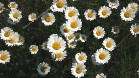 Opinión de las flores del prado de la naturaleza del verano Paisaje del campo de la manzanilla del verano Escena del campo de la  almacen de metraje de vídeo
