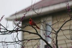 Opinión de los cardenales Imagen de archivo
