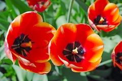 Opinión de los tulipanes del escarlata del top Fotografía de archivo