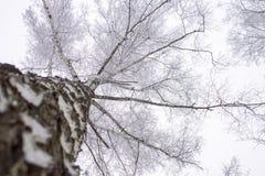 Opinión de perspectiva del árbol del invierno que mira para arriba Fotografía de archivo libre de regalías