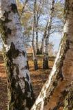 Opinión de perspectiva de los árboles de abedul de plata en un bosque de la montaña Imágenes de archivo libres de regalías
