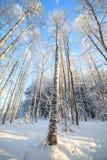 Opinión de perspectiva nevada del árbol que mira para arriba Imagen de archivo libre de regalías