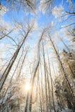 Opinión de perspectiva nevada del árbol que mira para arriba Fotografía de archivo libre de regalías