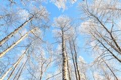 Opinión de perspectiva nevada del árbol que mira para arriba Fotos de archivo libres de regalías
