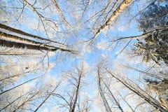 Opinión de perspectiva nevada del árbol que mira para arriba Foto de archivo