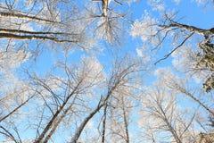 Opinión de perspectiva nevada del árbol que mira para arriba Imagen de archivo