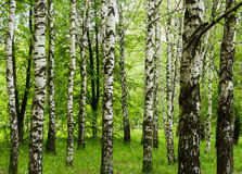 Opinión del bosque con los árboles de abedul y la hierba verde en un paisaje al aire libre del concepto del parque del fondo de l Foto de archivo libre de regalías