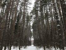 Opinión del bosque del pino Imagenes de archivo