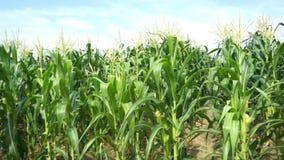 Opinión del campo de maíz el tiempo del día almacen de metraje de vídeo