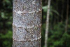 Opinión del cierre del tronco de palmera en el bosque tropical de Oahu foto de archivo