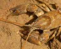 Detalle de los cangrejos de piedra Fotografía de archivo