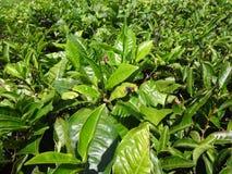 Opinión del enfoque del cierre de la hoja de té en el jardín de té de ooty, la India Foto de archivo
