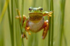 Opinión del frontal de la rana arbórea foto de archivo
