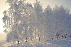Opinión del invierno con los abedules de la helada Imagen de archivo